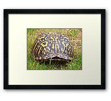 Eastern Box Turtle Framed Print
