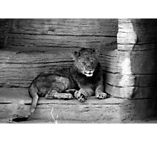 Something In the Lion's Eye Photographic Print