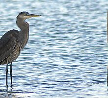 juvenile Great Blue Heron by Lenny La Rue, IPA