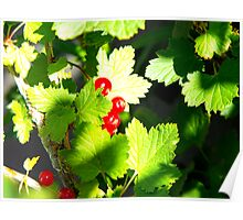 Redcurrant Bush Poster