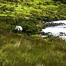 The Irish White Horse by Sherri Fink