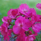 pink flowers by JenniferJW