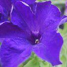 purple petunia by JenniferJW