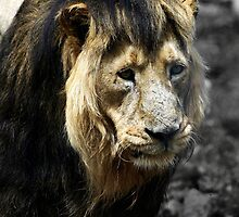 Ashok the Asiatic Lion by Wayne Gerard Trotman