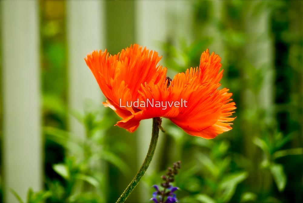 Lonely Poppy  by LudaNayvelt