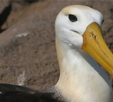 The Albatross up Close by KristyWalker