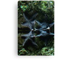 Two Blue Starfish, II Canvas Print