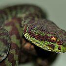 KANBURIAN PIT VIPER by Dennis Stewart