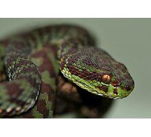 KANBURIAN PIT VIPER Photographic Print