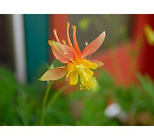 Wild Columbine Photographic Print
