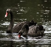 Black Swans-He says, stop lookin at my girl..... by AlixCollins