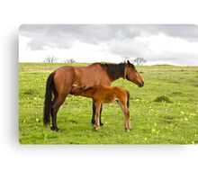 horse and foal drinking milk Canvas Print