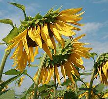 Sunflower by Sue Ellen Thompson