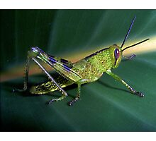 Green Grasshopper Photographic Print