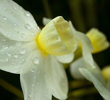 Late Winter Daffodils by seanseen