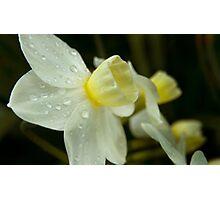 Late Winter Daffodils Photographic Print