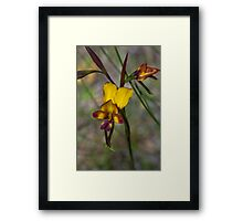 Donkey Orchid Framed Print