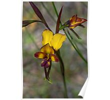 Donkey Orchid Poster