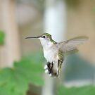 Hummingbird by Brian Dodd