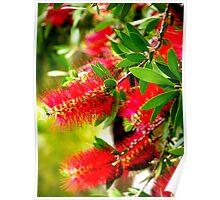 Bottle Brush Tree Poster