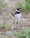 Baby Killdeer by Todd Weeks