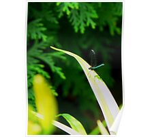 Green Clearwing Damselfly Poster