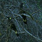 Black Cockatoos,S.A. by elphonline
