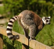 Ring-tailed Lemur by memphisto
