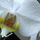 Orchid by Bob Sagar