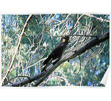 Black-Cockatoo. Poster