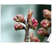 Spring Buddings II Poster