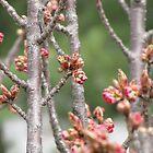 Spring Buddings III by Lana Kole