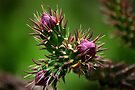 Cholla Cactus  by Vicki Pelham