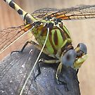 Dragonfly (crop) by Anji Johnston