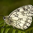 Marbled White by Brian Haslam