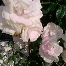 White Rose's  by Ruby Adams