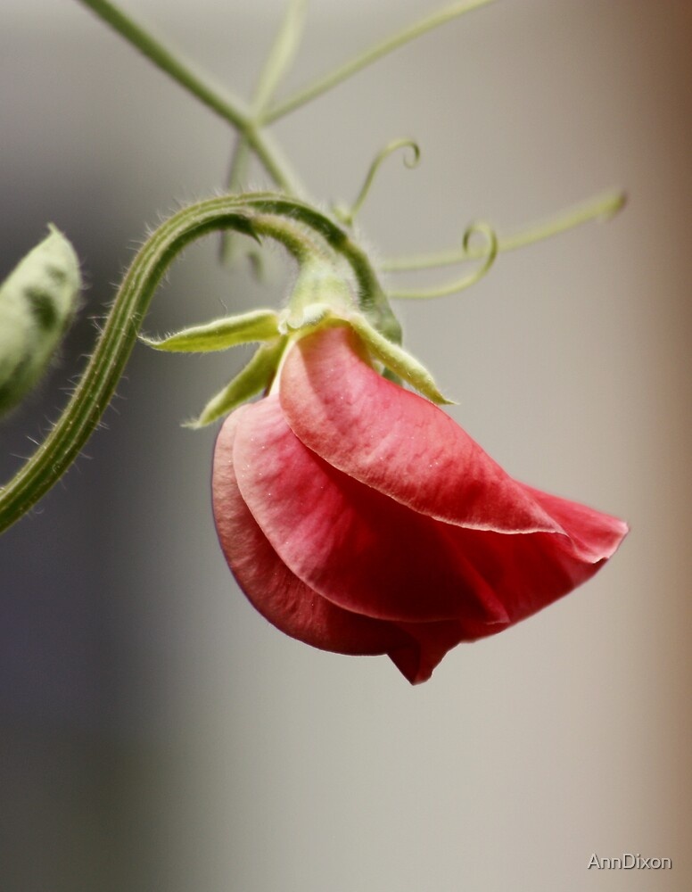 My First Sweetpea this Year by AnnDixon