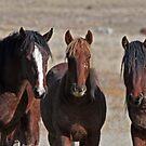 Wild Mustangs of Utah by Judson Joyce