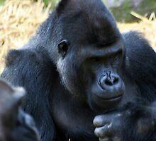 Western Lowland Gorillas by Wayne Gerard Trotman