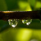 Elder dewdrops by David Clarke