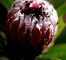 King Protea by mayette26
