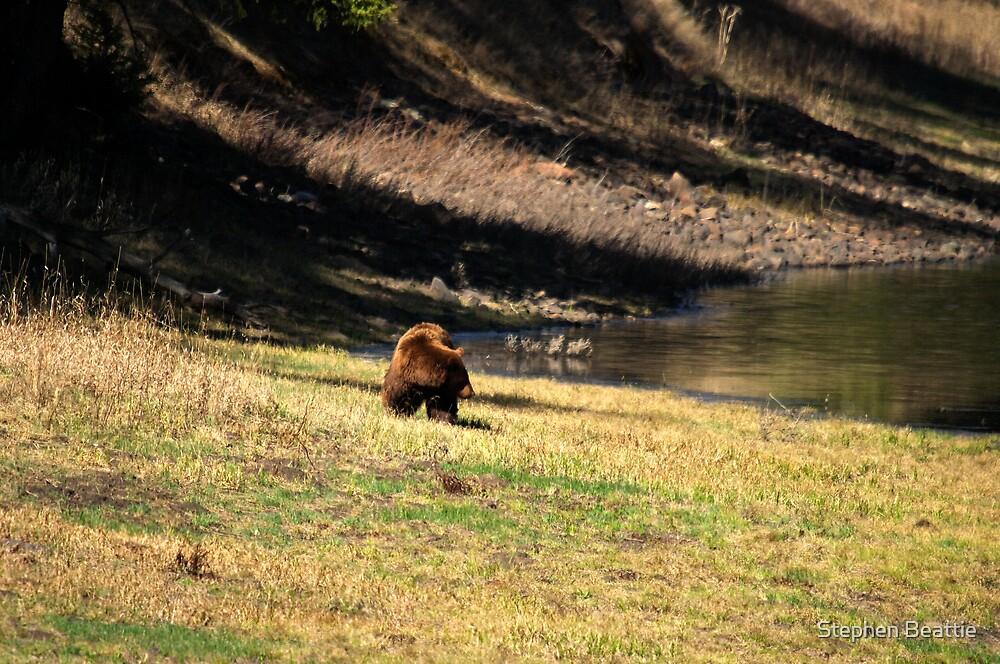 """""""Cinnamon"""" Black Bear - On a Slope by Stephen Beattie"""