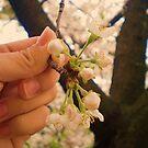cherry blossom by Aimerz