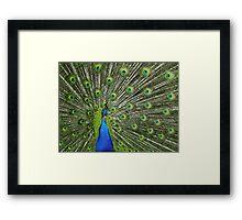 Peacock wide Framed Print