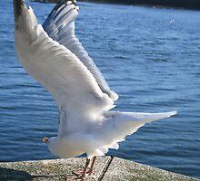 Seagull In Berwick-Upon-Tweed by Tasha  Blackmore