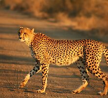 Furry Cheetah