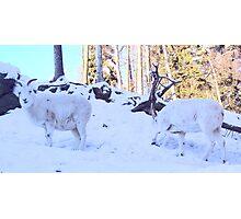 Dall Sheep Rams Photographic Print