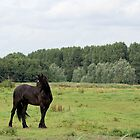 Friesian Horse  by theheijt