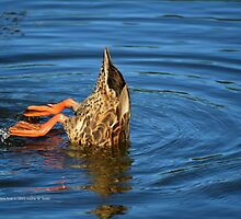 Anas Platyrhynchos - Mallard Wild Duck | Wading River, New York by © Sophie W. Smith