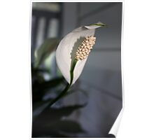 Single Peace Lily bloom Poster